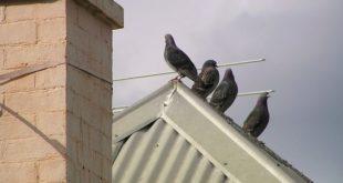 golubovi na krovu